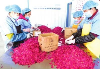 探访永登玫瑰产业经济乡村综合发展模式