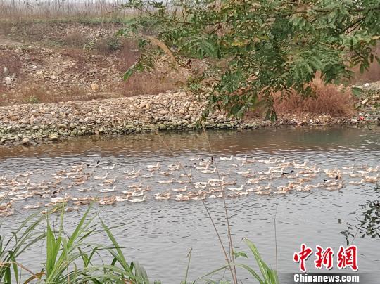 煜文农业在有机稻米基地套养稻花鸭。 王昊昊 摄