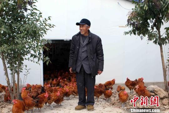 合作社员工李沛富在养鸡场饲养鸡 夏莹 摄